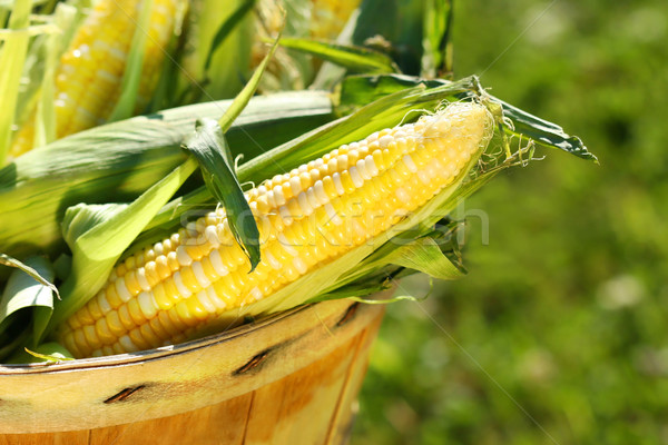 Corn in an apple basket Stock photo © Sandralise
