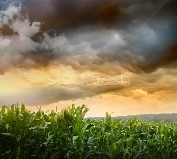 Sötét kukorica mezők naplemente természet tájkép Stock fotó © Sandralise