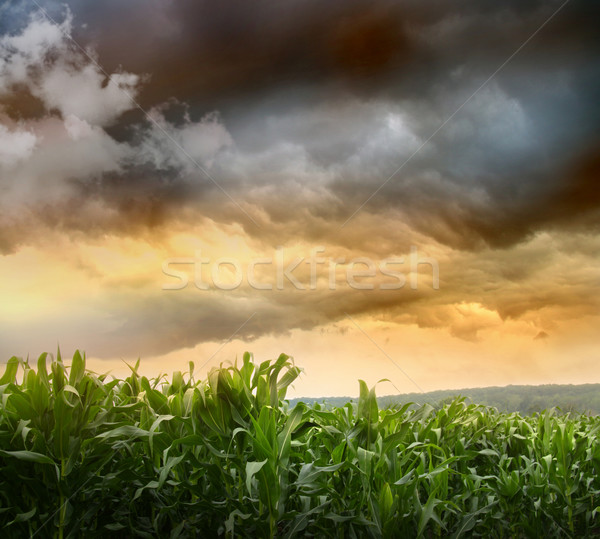 Oscuro maíz campos puesta de sol naturaleza paisaje Foto stock © Sandralise