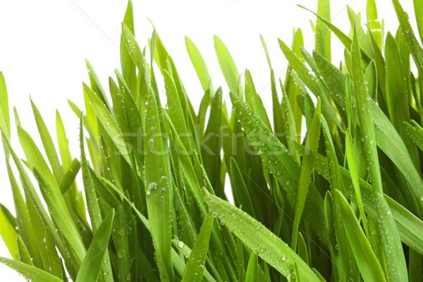 Wheatgrass against a white Stock photo © Sandralise