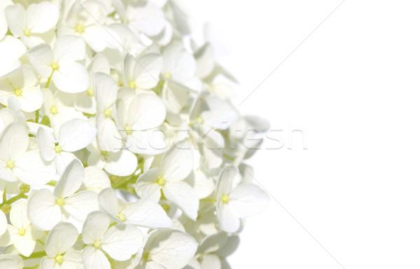 Bianco fiori fiore albero primavera abstract Foto d'archivio © Sandralise
