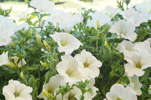 White petunia flowers in the sun                               Stock photo © Sandralise