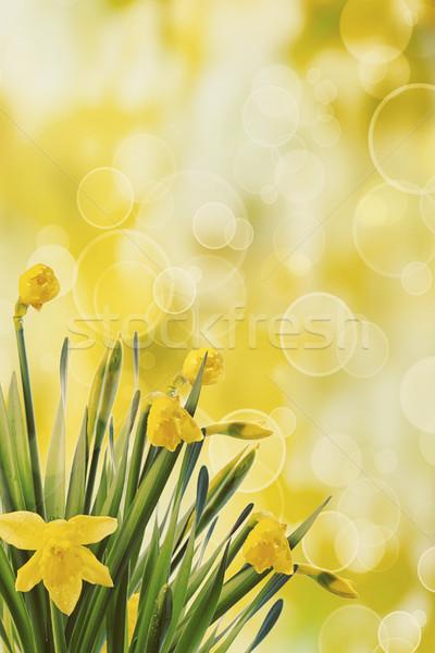 Nergis bokeh bahar doğa bahçe arka plan Stok fotoğraf © Sandralise