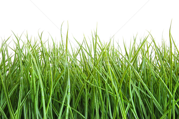 Tall wet grass against a white Stock photo © Sandralise
