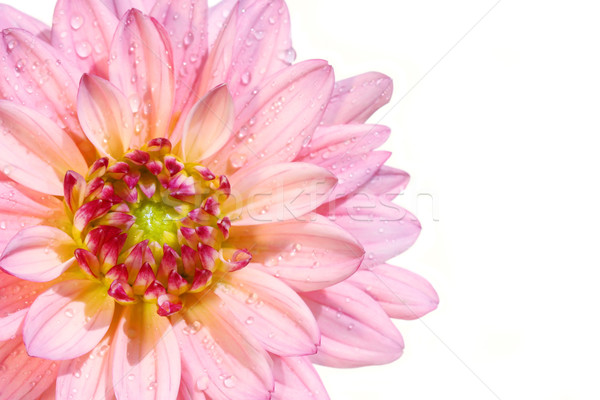 Pink dahlia flower Stock photo © Sandralise