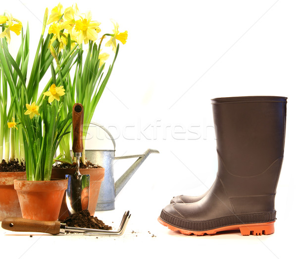 Pots of daffodils with rubber boots on white Stock photo © Sandralise