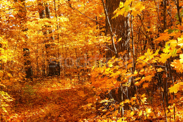 Walking through the maple trees  Stock photo © Sandralise