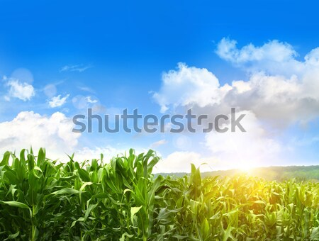 Field of young corn growing against blue sky Stock photo © Sandralise