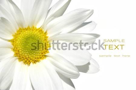 Biały Daisy wiosną streszczenie charakter piękna Zdjęcia stock © Sandralise