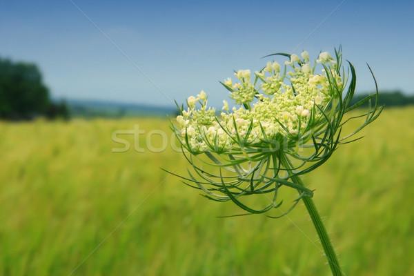 Dziki kwiat Błękitne niebo niebo chmury charakter liści Zdjęcia stock © Sandralise