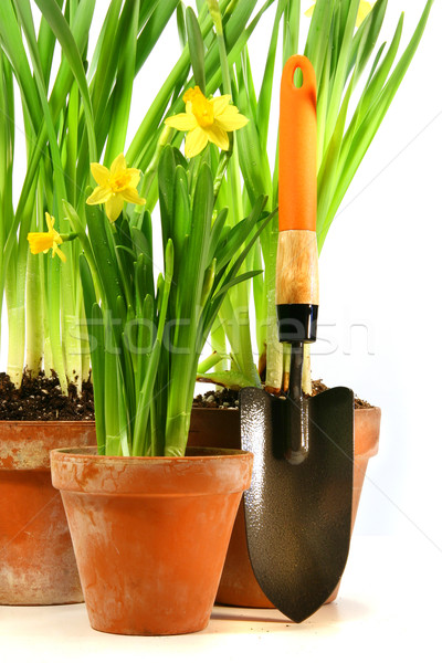 Pots of daffodils with garden shovel Stock photo © Sandralise