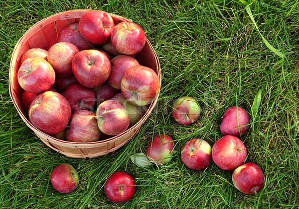 Overhead shot of a basket of freshly picked apples Stock photo © Sandralise