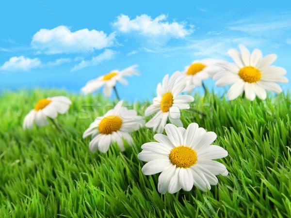 Marguerites herbe ciel bleu peu ciel soleil Photo stock © Sandralise