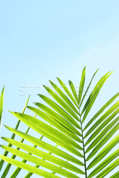 Palm leaves against a blue summer sky Stock photo © Sandralise