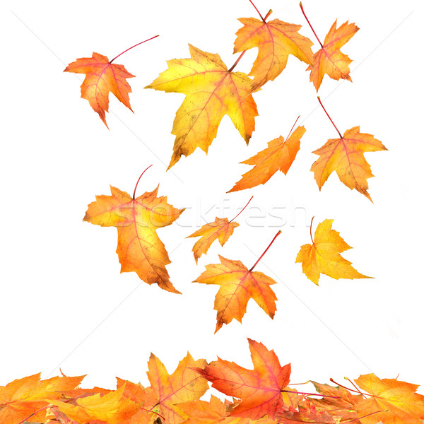 Stock photo: Maple leaves falling  on white background