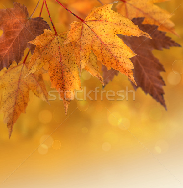 Stock photo: Autumn leaves with shallow focus background