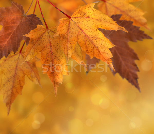 Colorful autumn  leaves with shallow focus  Stock photo © Sandralise