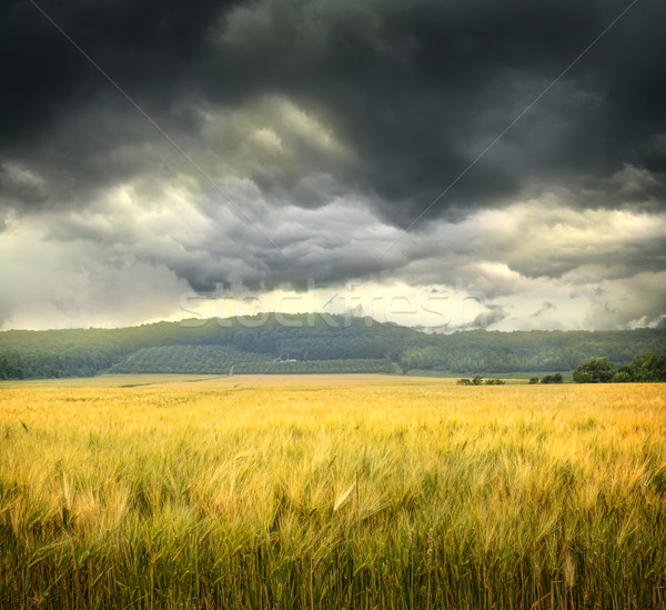 Field of wheat with ominous clouds  Stock photo © Sandralise