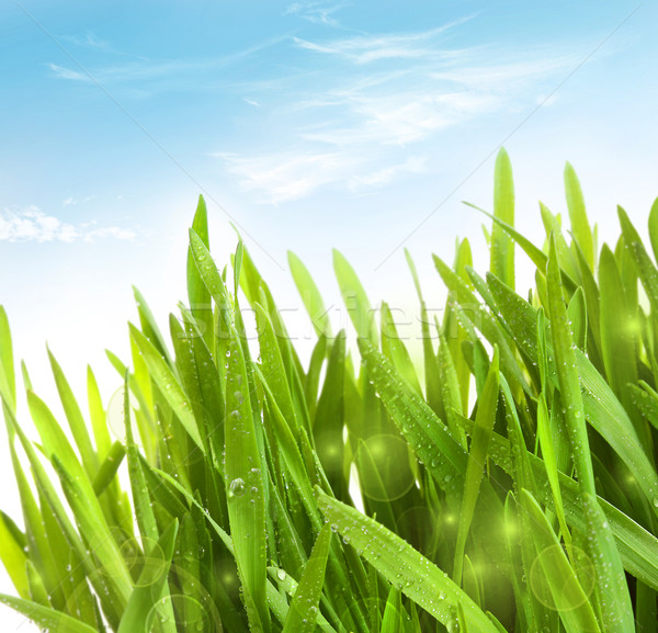 Fresh wheatgrass with dew drops  Stock photo © Sandralise