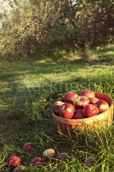 Bushel of apples in the orchard Stock photo © Sandralise