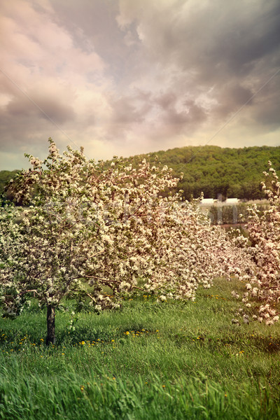 Blossoming apple trees in spring Stock photo © Sandralise
