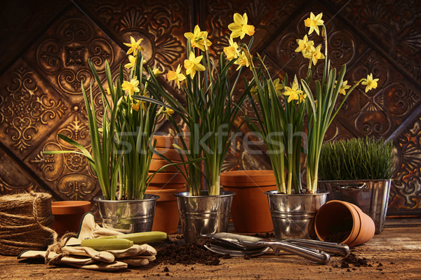 Close-up of potted daffodils in potting shed Stock photo © Sandralise