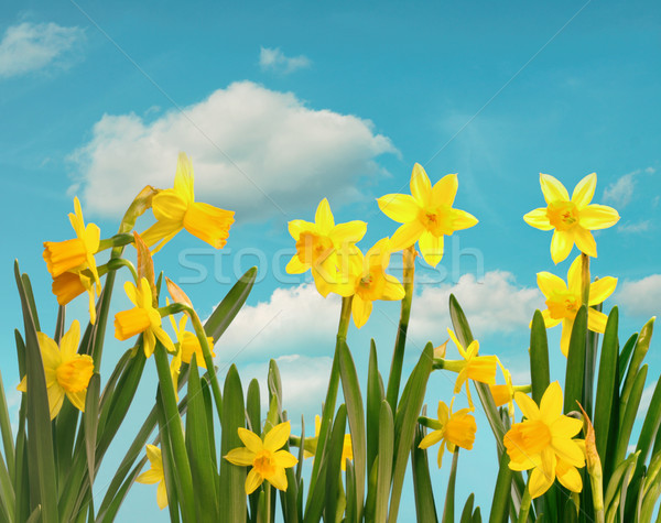 Spring daffodils with blue sky  Stock photo © Sandralise