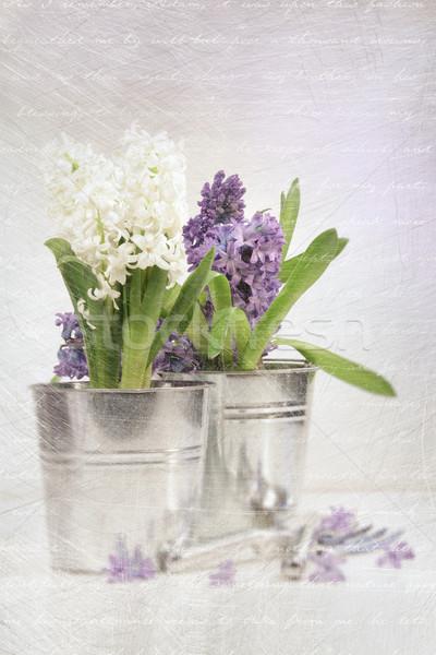 ストックフォト: 紫色 · ヒヤシンス · ヴィンテージ · 見 · 自然