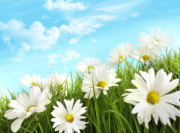 White summer daisies in tall grass Stock photo © Sandralise