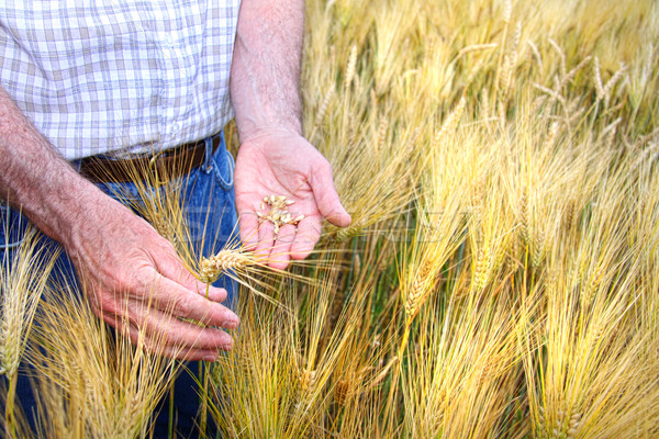 Hands with holding wheat grains Stock photo © Sandralise