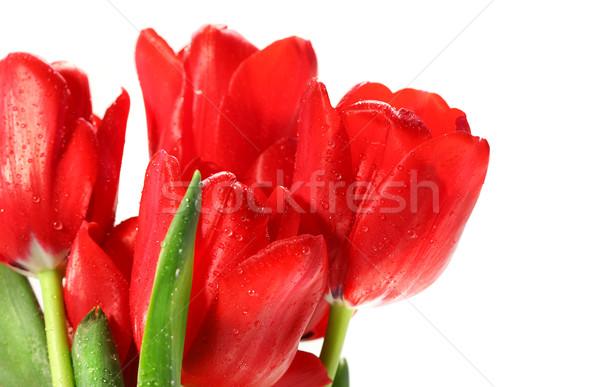 Stock fotó: Piros · tulipánok · fehér · húsvét · tavasz · természet
