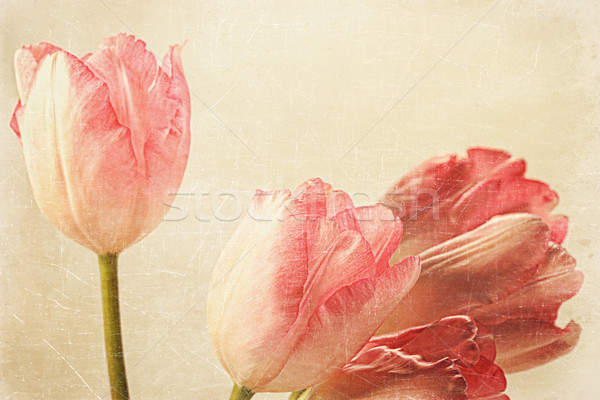 Tulipes vieux vintage sensation rose papier Photo stock © Sandralise