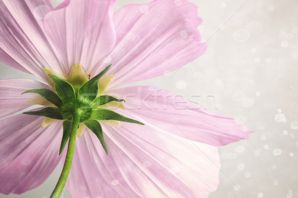 Pink cosmos flower with soft blur background Stock photo © Sandralise