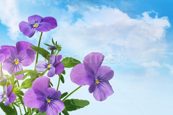 Roxo violeta flores blue sky verão verde Foto stock © Sandralise