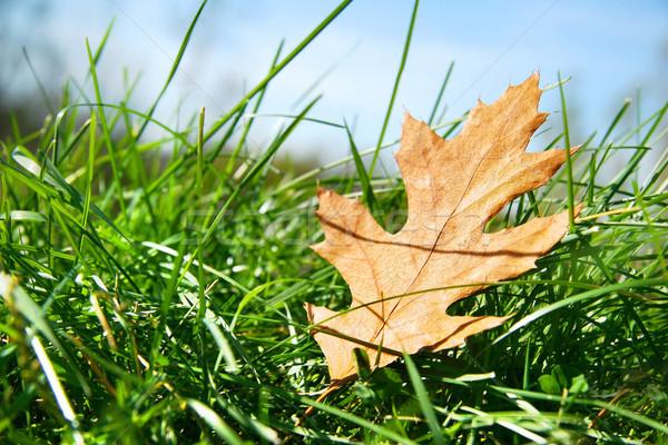 Oak leaf in the grass Stock photo © Sandralise