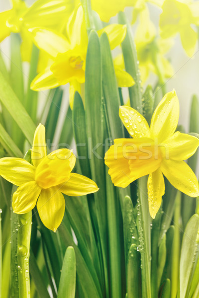Yellow narcissus flowers and green leaves Stock photo © Sandralise