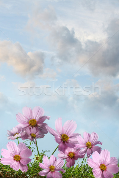 Cosmos flowers against a summer sky Stock photo © Sandralise