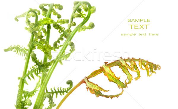 Fern leaves on white Stock photo © Sandralise