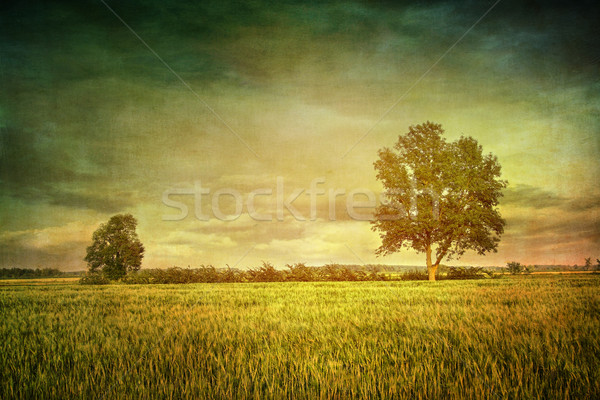 Stock photo: Beautiful summer fields of wheat