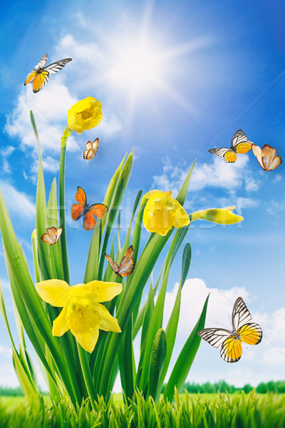 Daffodils and butterflies in field Stock photo © Sandralise
