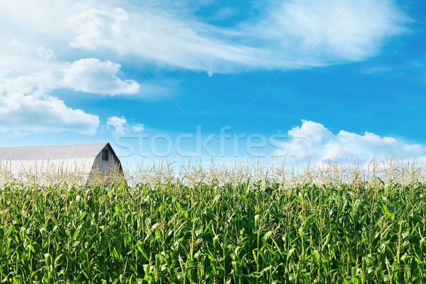 Mais veld schuur Blauw hemel natuur Stockfoto © Sandralise
