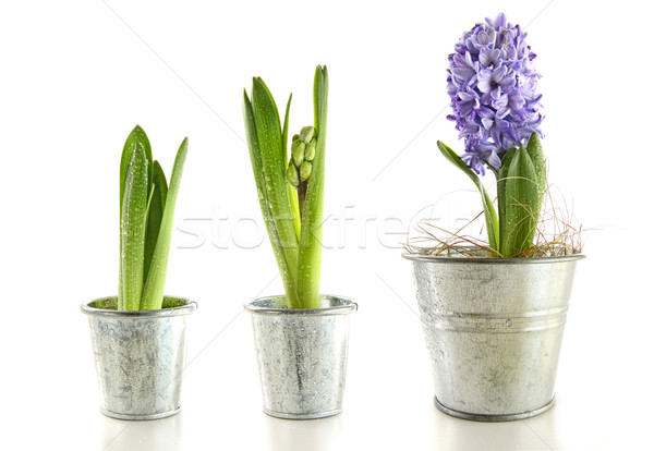 Purple hyacinth in garden pots on white Stock photo © Sandralise