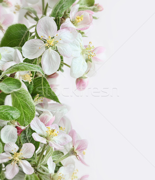 Spring apple blossoms on pink white background Stock photo © Sandralise