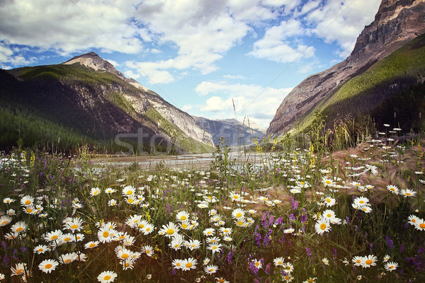 Field of wild flowers with Rocky Mountains in background Stock photo © Sandralise