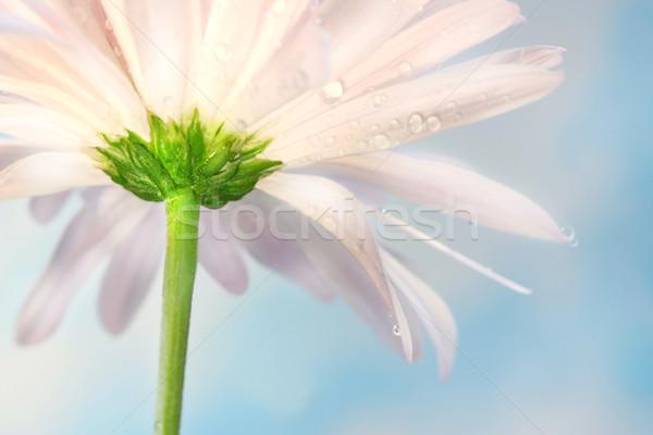 Rózsaszín százszorszép kék nyár égbolt természet Stock fotó © Sandralise