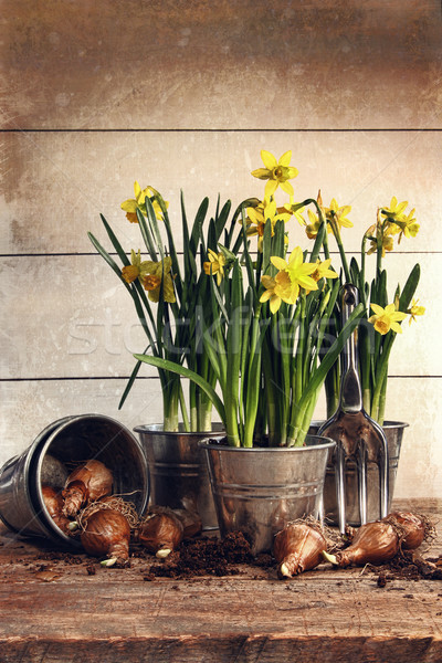 Potted daffodils wirh bulbs for planting Stock photo © Sandralise
