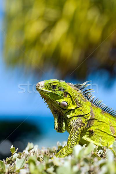 Iguana Stock photo © sapegina