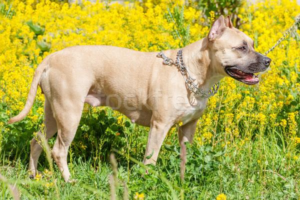 Bika terrier gyönyörű pózol nyár park Stock fotó © sapegina