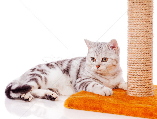 British Grey cat Stock photo © sapegina
