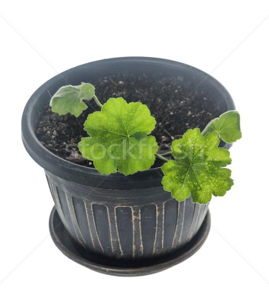 Pelargonium growing in pot Stock photo © sapegina
